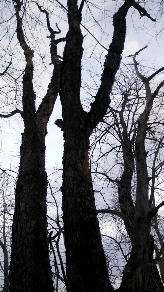 A photograph of a black cherry tree on Amico Island photo by Laura Chenault featuring three large trunks of bare trees reaching into the sky.