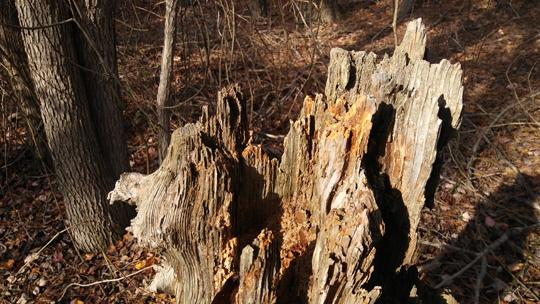 Close up of a dead tree stump at Black Run Preserve in Evesham Township, New Jersey. Photo by Laura Chenault.