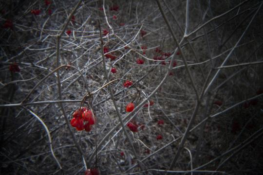 A photo of red berries with brown foilage in the background at Three Sisters Islands in Niagara Falls State Park at Goat Island and Three Sisters Islands by Laura Chenault