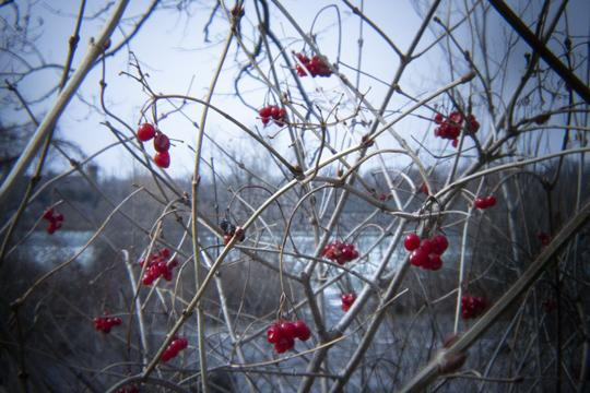 A photo of red berries with a horizon and blue sky in the background at Goat Island and Three Sisters Islands in Niagara Falls State Park by Laura Chenault