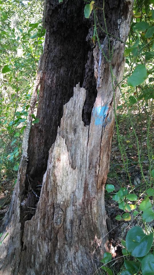 A photograph of a hollow tree stump with a blue painted trail marker. Exploring Rancocas State Park by Laura Chenault